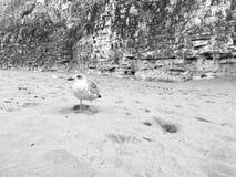 Seagullanseende i sanden Arkivbilder