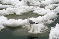 Seagullanseende på is Royaltyfri Fotografi