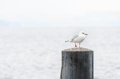 Seagullanseende på en pol Arkivbilder