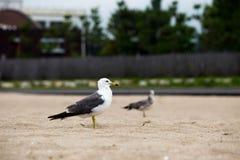 Seagullanseende på en sandstrand royaltyfri foto