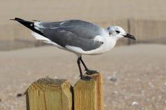 Seagullanseende på en staketstolpe Arkivbild