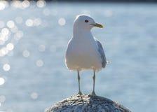 Seagullanseende på en sten Arkivfoto