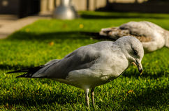 Seagullanseende på grönt gräs Royaltyfri Fotografi