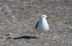 Seagullanseende på stranden Arkivfoto