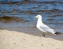 Seagullanseende på stranden royaltyfri foto