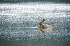 Seagullattacker på fisk Royaltyfri Fotografi