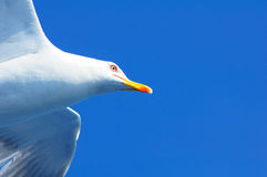 Seagullcloseup Royaltyfri Fotografi