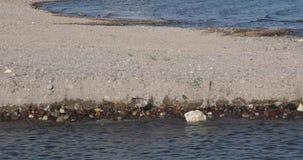 Seagulldricksvatten stock video