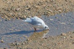 Seagulldricksvatten Arkivfoto