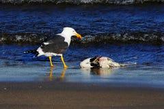 Seagulldropp Fotografering för Bildbyråer