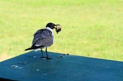 Seagullen äter muffin Arkivfoton