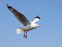 Seagullen Fotografering för Bildbyråer