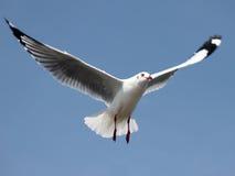 Seagullen Royaltyfria Bilder