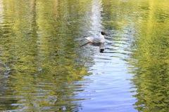 Seagullen bevattnar på Royaltyfria Foton