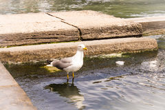 Seagullen bevattnar på Arkivbild
