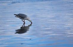 seagullen blir grund Arkivfoton