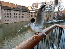 Seagullen fångade ett stycke av bröd! Royaltyfri Fotografi