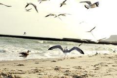 Seagullen fördelade dess vingar Seagull vid havet royaltyfria bilder