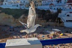 Seagullen flyger över stranden i Carvoeiro Royaltyfri Fotografi