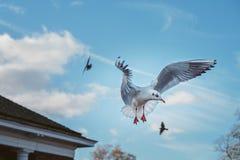 Seagullen flyger dess vingar Arkivfoton