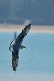 Seagullen flyger framme av en strand med öppna vingar Royaltyfria Bilder