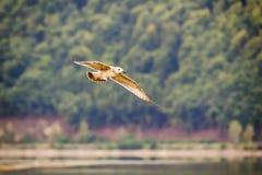 Seagullen flyger framme av skogen Royaltyfri Bild