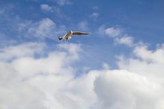 Seagullen flyger i himlen Arkivbild