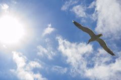 Seagullen flyger in mot solen på blå himmel Arkivfoto