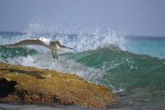 Seagullen flyger upp Fotografering för Bildbyråer