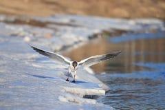 Seagullen går nära dammet i vårtid Arkivbilder