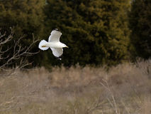 Seagullen glider förbi Arkivbilder