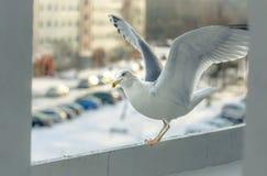 Seagullen har lunch på min balkong arkivfoton