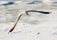 Seagullen i flykten Arkivbilder