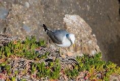 Seagullen i vaggar Fotografering för Bildbyråer