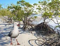 Seagullen & mangrovar på en ursprunglig vit sandig tropisk ö är Fotografering för Bildbyråer