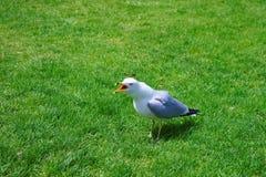 Seagullen på gräset i Niagara parkerar på Niagara Falls Royaltyfria Foton