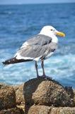 Seagullen på vaggar Arkivbilder