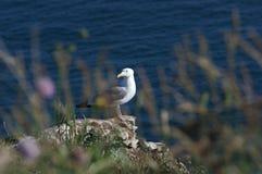 Seagullen på vaggar av Vaudieu i etretatkust Royaltyfria Foton