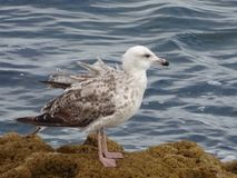 Seagullen på vaggar på de Cascais kusterna, Portugal Royaltyfri Bild