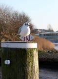 Seagullen är avslappnande i solen Royaltyfri Fotografi