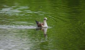 Seagullen simmar i sjön royaltyfri foto