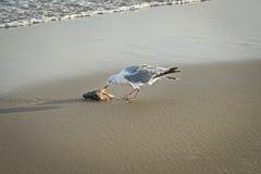 Seagullen som äter den döda fisken, tvättade sig upp på den holländska stranden Arkivbild