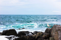 Seagullen som sätta sig på, vaggar i Blacket Sea nära Sozopol, Bulgarien Royaltyfri Fotografi