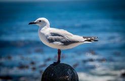 Seagullen som sätta sig på, vaggar vid havet Royaltyfri Foto