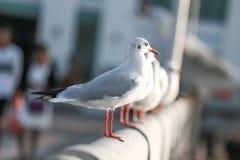 Seagullen står på en bro på Bangpu Thailand Arkivbilder
