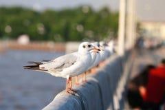 Seagullen står på en stång för vitt cement för bro ovanför havet royaltyfri fotografi