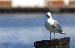 Seagullen stirrar in i kameran Royaltyfri Foto