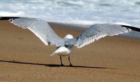 Seagullen sträcker vingar och ser in mot havet royaltyfri foto