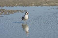 Seagullen tigger för mat Arkivbilder