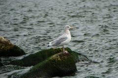 Seagullen vaggar på Royaltyfri Bild